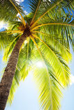 Close up of palm tree agains blue sky Stock Photography