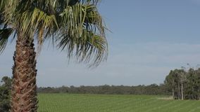 Close up palm tree with a big a wine garden at background in Margaret River, Western Australia stock video