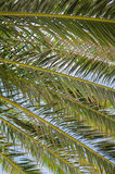 Close up of Palm Tree Branches and Blue Sky Royalty Free Stock Photography