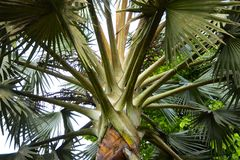 A closer look at a palm tree. Fan palm as a descriptive term can refer to any of several different kinds of palms Arecaceae with leaves that are palmately lobed stock photos