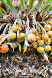 Close up of palm tree fruit Royalty Free Stock Photography