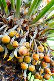 Close up of palm tree fruit - Cycas Stock Image