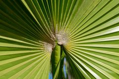 Close up of palm tree leaf ridges stock photography