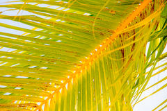 Close up of a palm tree leaf Royalty Free Stock Photo