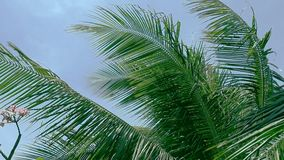 Close up palm tree leafs blowing in the wind. HD. Palm tree leaves on wind. Close-up view green leaves on blue sky background. Low angle. Nature background stock video footage