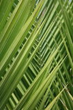 Close up of palm tree leaves - background Royalty Free Stock Images