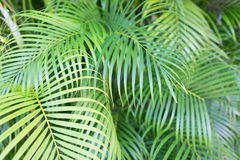 Close-up of palm tree leaves Royalty Free Stock Image