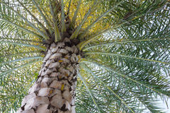 Close up a palm tree on sky background. Royalty Free Stock Image