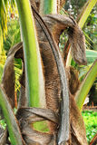 Close-up of palm tree stem Royalty Free Stock Photo