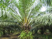 A garden of palm trees using for oil industry. royalty free stock photo