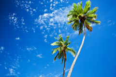 Close up of palm trees agains blue sky Royalty Free Stock Images
