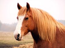 Close up of palomino draft horse Stock Image