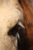 Close up of palomino horse eye Royalty Free Stock Photo