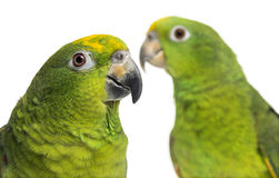 Close-up of a Panama Amazon and Yellow-crowned Amazon isolated o Stock Photos