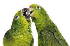 Close-up of a Panama Amazon and Yellow-crowned Amazon pecking. Isolated on white royalty free stock photography