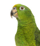 Close-up of a Panama Yellow-headed Amazon (5 months old) isolate. D on white royalty free stock photos