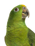 Close-up of a Panama Yellow-headed Amazon (5 months old) isolate Royalty Free Stock Photo