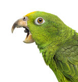 Close-up of a Panama Yellow-headed Amazon (5 months old) with it. S beak open, isolated on white royalty free stock photo