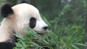 Close up from a Panda eating bamboo in Chengdu China stock video