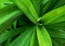 Wet pandan plant leaves. Close up of pandan plant leaves after the rain Stock Images