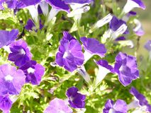 Close up pansy. Deep rich purple sun light pansy with rich green leaves Stock Photos