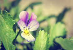 Close up of Pansy flower Stock Photography