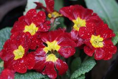 Close Up Pansy Red Flower is Blooming in the Park. Colorful Flower in Summer Time to Brighten up the Day royalty free stock images