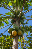 Close up of papaya fruits on the tree Stock Photo