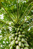 Close up of Papaya Tree Royalty Free Stock Photo