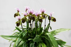 Close Up Paphiopedilum Orchids flower and green orchid leaf with white background Royalty Free Stock Photography