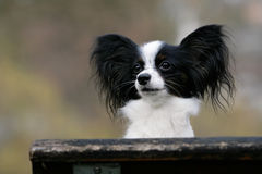 Close-up of Papillon Royalty Free Stock Photos