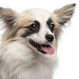 Close-up of Papillon, 15 months old Royalty Free Stock Images