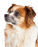 Close-up Papillon Dog Looking To Side Stock Photos