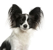 Close-up of a Papillon Stock Image