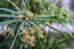 Close up papyrus, plant Stock Image