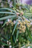 Close up papyrus, plant Stock Photos