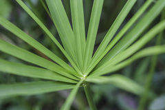 Close up of Papyrus tree. In the garden Stock Image