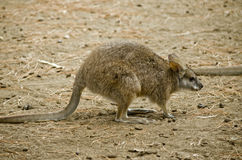 Parma wallaby Royalty Free Stock Image