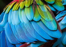 Close up of parrot feathers for background. Including texture Royalty Free Stock Photos