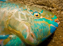 A close-up of a parrot fish in the grenadine islands Stock Photo