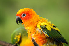 Close-up of Parrots. Face Royalty Free Stock Photos