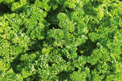 Close up of parsley plant Stock Photo