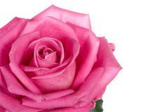 Close-up part of beautiful pink rose Royalty Free Stock Photography