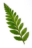 Foot fern Royalty Free Stock Photos