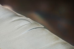 Close up of part pigeon feather Stock Images