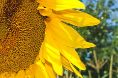 Close-up of a part of sunflower in a field Royalty Free Stock Image