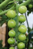 Close up of part of a truss of green tomatoes. Close up of top part of a truss of green tomatoes on a cherry tomato plant that are about to start ripening stock images