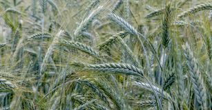 Close - up of the part of young green growing barley field stock photos