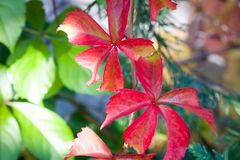 Close up of parthenocissus quinquefolia in autumn. With vivid colors Stock Photos
