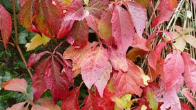 Parthenocissus quinquefolia commonly known as the Boston Ivy Royalty Free Stock Images